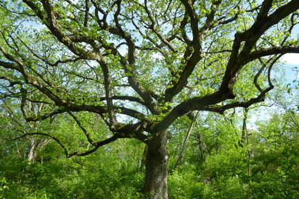 This large, old white oak tree with wide spreading branches once stood sentinel in an open field.