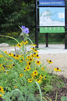 Purple and yellow wildflowers bloom in front of the informational kiosk at the Frautschi Point entrance.
