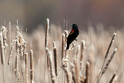 A red-winged blackbird perches on a cattail in the Class of 1918 Marsh.