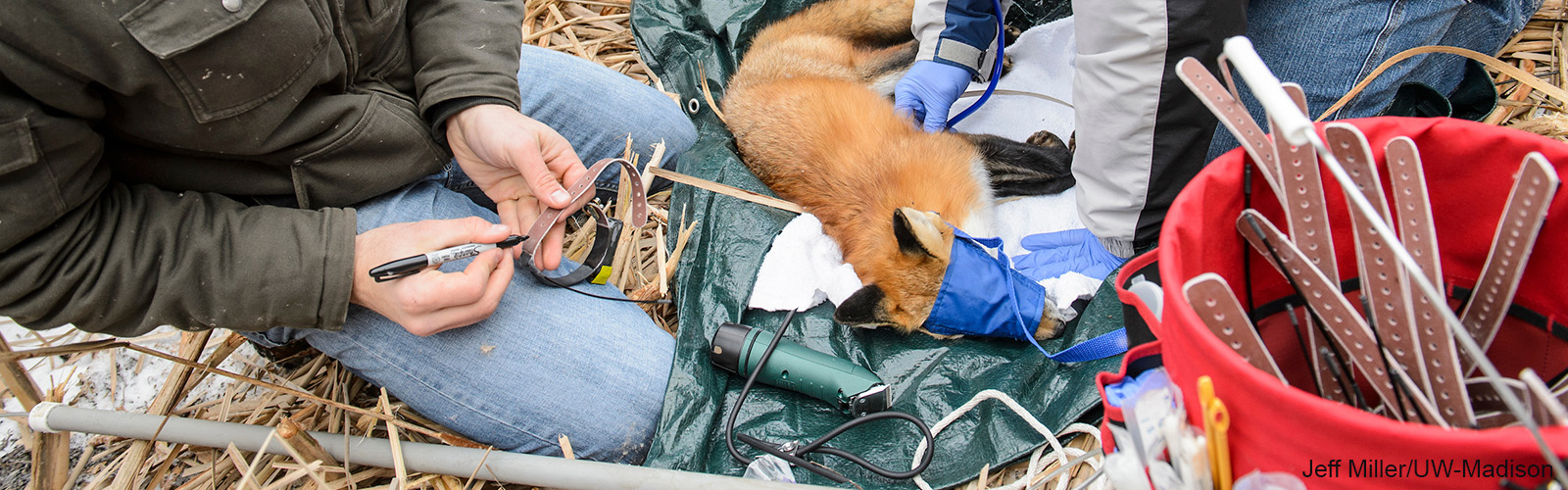 During a winter morning on Jan. 23, 2015, from left, graduate student Marcus Mueller prepares a radio collar as Michael Maroney, a veterinarian with the Research Animal Resources Center, monitors a sedated-fox caught on campus near the Lakeshore Nature Preserve at the University of Wisconsin-Madison as part of a research effort to study the behavior of growing fox and coyote populations in the city of Madison.