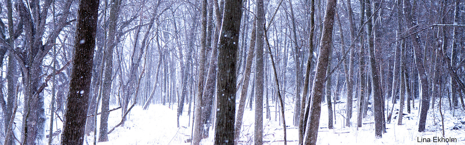 Dark straight-trunked trees stand out in snowy landscape.