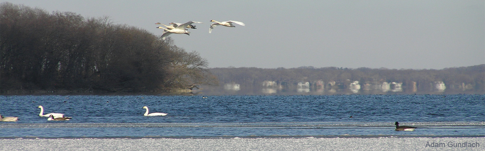 White tundra swans flying over University Bay Drive with Picnic Point in background.