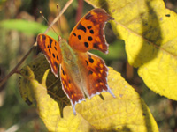 An orange Eastern comma butterfly sits with wings open on a yellow leaf.
