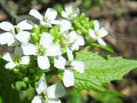White four-petaled garlic mustard flowers.