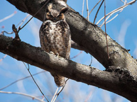 An adult great horned owl rests on a tree branch in Willow Creek Woods. Photo by Jeff Miller-/UW-Madison.