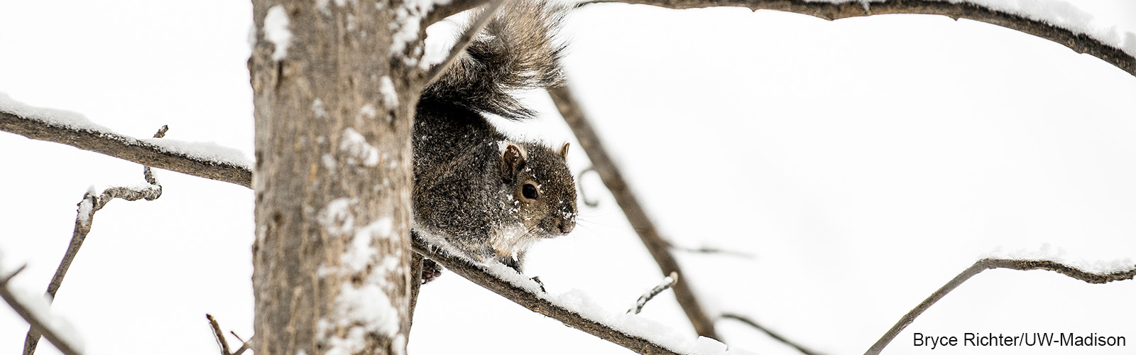 A squirrel sits on a snowy branch