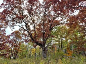 large oak tree with wide spreading branches and reddish colored fall leaves
